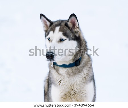 Dog on a white background. Breed of a dog - Siberian huskies. - stock photo
