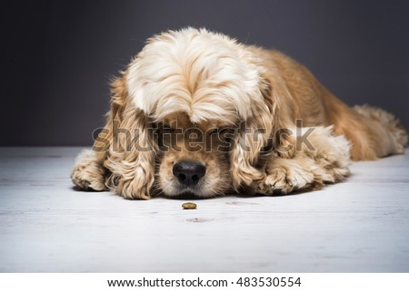 Dog on a white wooden floor. Young purebred American cocker spaniel lying and licks his nose while looking at dog food. Dark background.