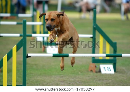 Agility Course For Dogs Dog on Agility Course Stock