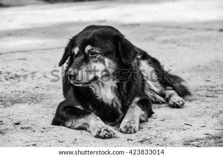 Dog on Background.Thai puppy.Thailand puppy black fur.Sad Puppy.Sad puppy on a background of black and white .Puppy ideas.Puppy isolated.Cute dog on the street in daylight.Puppy Natural Outdoor  - stock photo