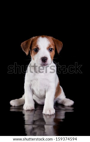 Dog on black. Jack Russell Terrier