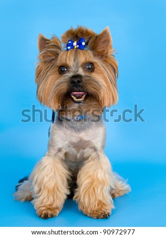 Dog on blue background