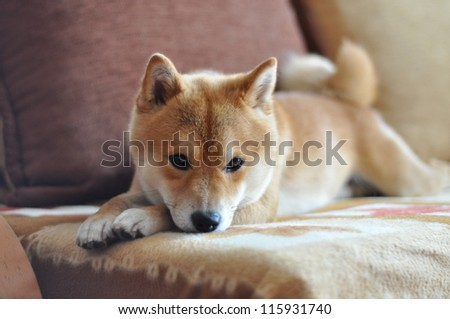 Dog on couch - stock photo