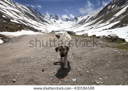 Dog on dirt road in spring mountains. Turkey, Kachkar Mountains (part of Pontic Mountains). - stock photo