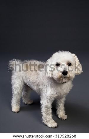 Dog on Gray Background - stock photo