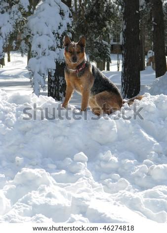 Dog on Large Snowpile - stock photo