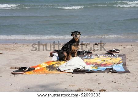 Dog on the beach, Calvi, Corsica - stock photo