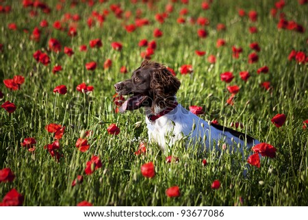 dog on the beautiful poppy field - stock photo