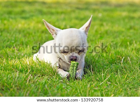 dog on the grass eating vegetable - stock photo