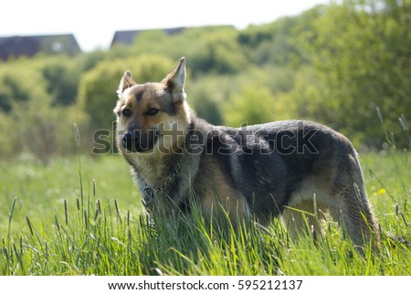 Dog on the meadow
