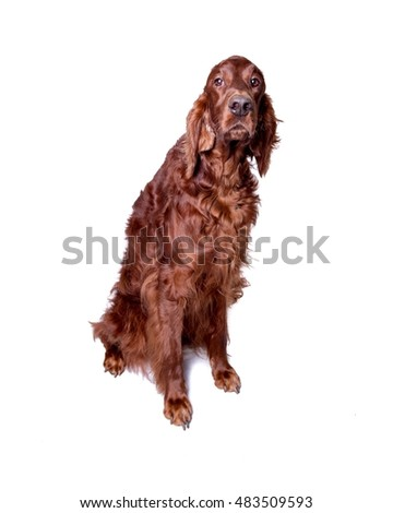 Dog on white background, taken in a studio.