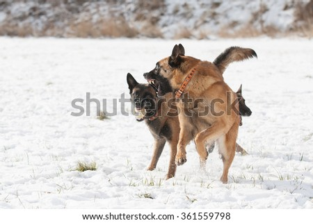 Dog pack - Belgian shepherd  and  Border collie playing together on snow in winter.