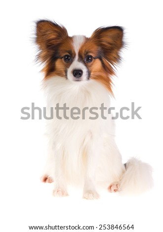 Dog Papillon on a white background - stock photo