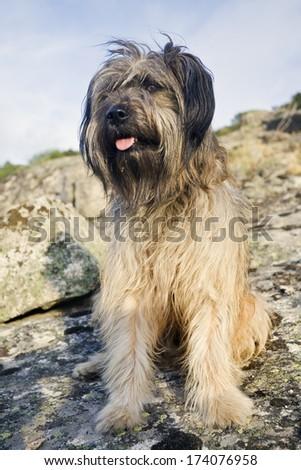 Dog. Pastor Catal�¡n. Gos d�´Atura. - stock photo