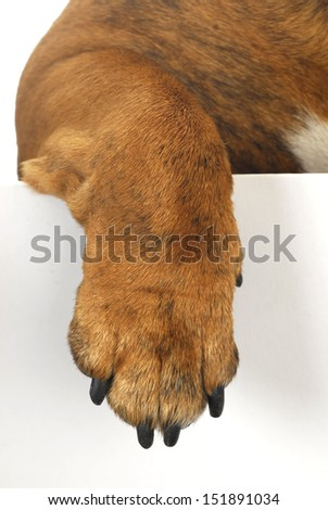dog paw hanging over white background - stock photo