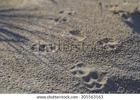 Dog Paw Prints on the Sand in Dunes at De Haan, Belgian north sea coast
