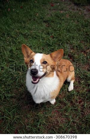 Dog Pembroke Welsh Corgi posing outdoors for a portrait  - stock photo