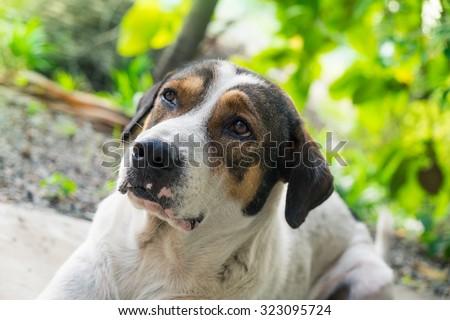 Dog pet big face wrinkle white body brown eye - stock photo