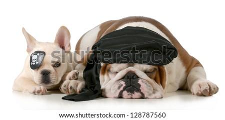 dog pirates - french and english bulldog dressed up like pirates isolated on white background - stock photo