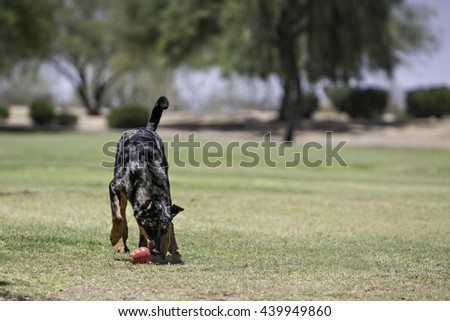 Dog playing at the park with a toy - stock photo
