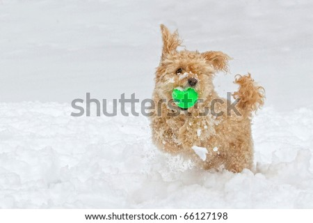 Dog Playing Ball In Snow - stock photo