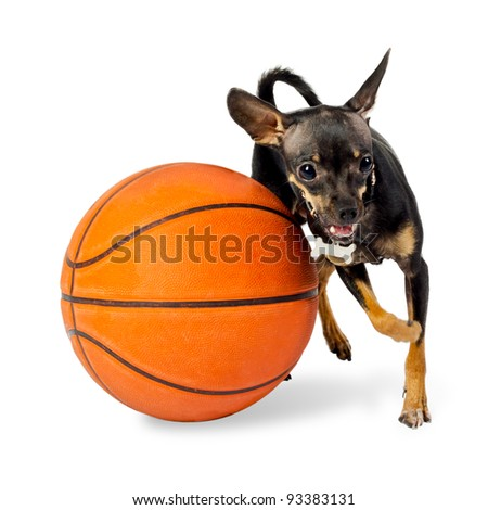 Dog playing ball - Toy terrier dog, 18 months old, with basketball on white background - stock photo