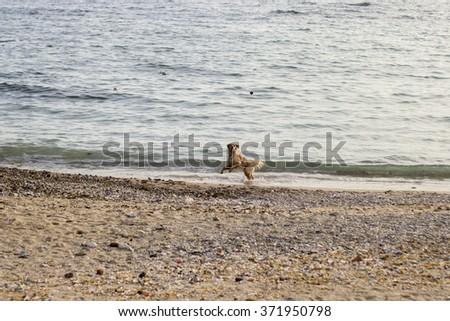 Dog, Playing, Beach, Shore - stock photo