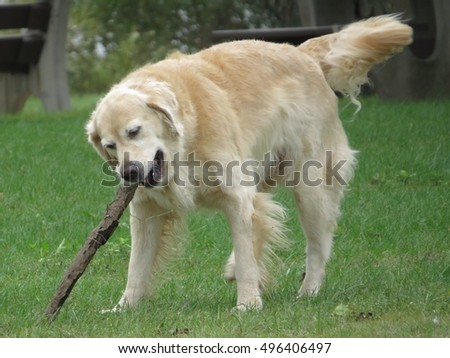 Dog playing with a stick in the park