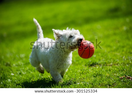 Dog playing with ball - stock photo