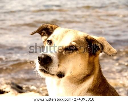 dog portrait, dog at the sea - stock photo