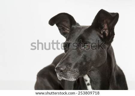Dog Portrait of a black mongrel dog - stock photo