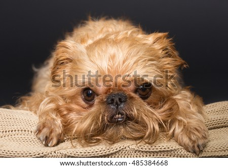 Dog portrait on a knitted blanket, breed Brussels Griffon on a black background