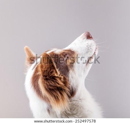 dog portrait on white background - stock photo