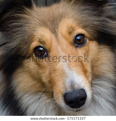 Dog portrait-Shetland sheepdog staring at you