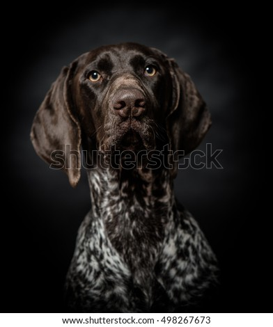 Dog portrait, studio shot.