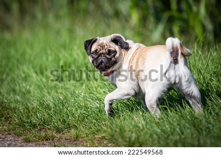 dog - Pug looking backwards - stock photo