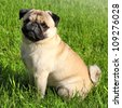 Dog  Pug on green grass in a park - stock photo
