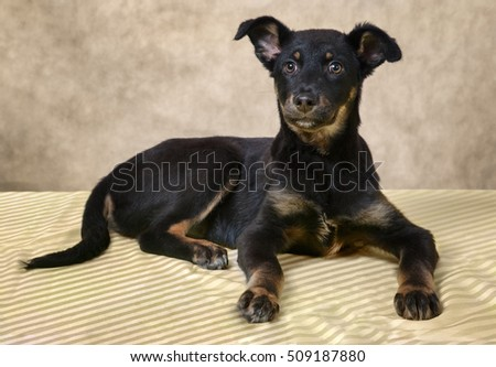 Dog puppy black color with fawn eyebrows