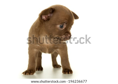 Dog, puppy brown color stands