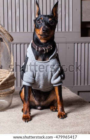 Dog. Puppy sitting on a table against the background of the wooden planks. Doberman. A small dog. Miniature Pinscher. Dog in sweater. Dog near a glass bottle. Puppy in the country.