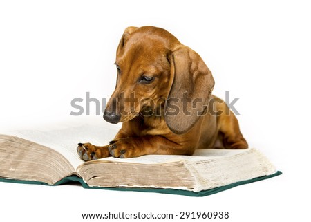 Dog Read Book, Animal School Education Training, Smart Dachshund Reading Isolated over White Background - stock photo