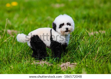 dog repainted on panda.  groomed dog. pet grooming. - stock photo