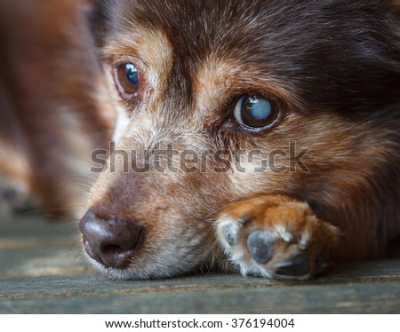 Dog Resting.  A dog is seen resting on a bench.  The dog is partially sighted having a cataract on his left eye.  - stock photo