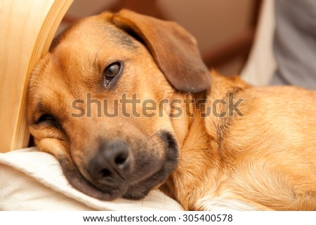 Dog resting on the sofa - enhanced colors - stock photo