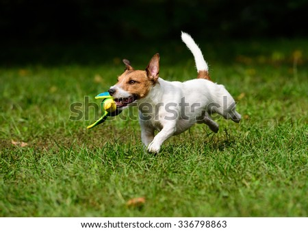 Dog retrieving a toy duck. Jack Russell Terrier training to fetch objects