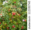 Dog-rose berries and flowers - stock photo