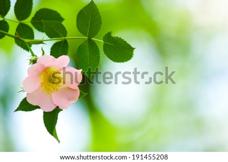 Dog rose close-up. Selective focus (shallow depth of field). - stock photo