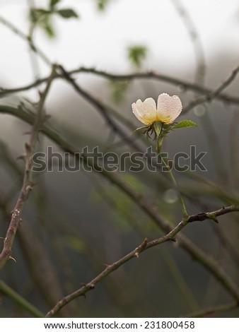 Dog rose, Hagenbutte, Hundsrose (Rosa canina) - stock photo