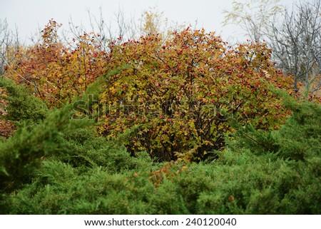 Dog Rose (Rosa canina) bush with ripe fruits - stock photo