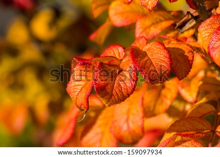 Dog Rose Rosa canina  in autumn colors